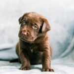 Puppy Portraits | 5 Lab Puppies Looking For Their Forever Home!!!